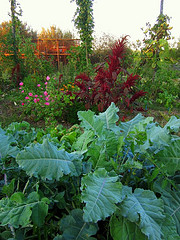 Amaranthus Velvet Curtains, purple sprouting broccoli, hops, tomatoes, Mallow, onions.jpg